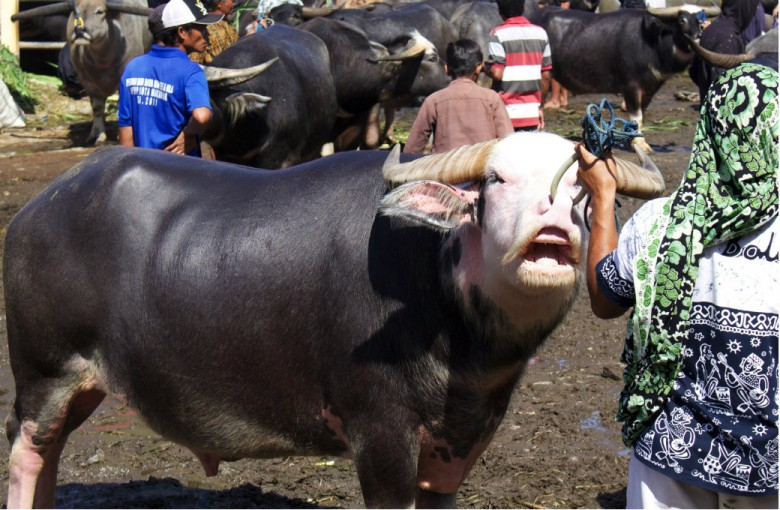 Büffelmarkt in Rantepao