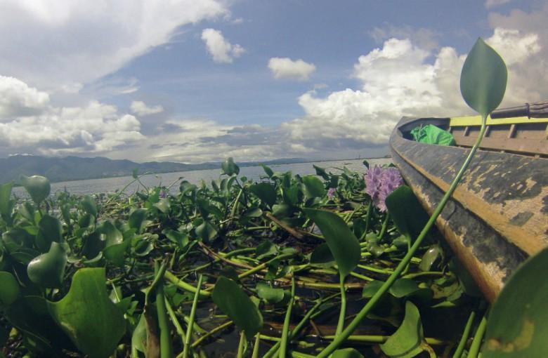 Wasserlilien auf dem Inle Lake